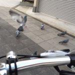 自転車通勤中ハトが避けてくれない問題