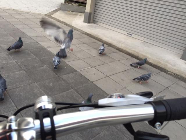 自転車通勤中のハト